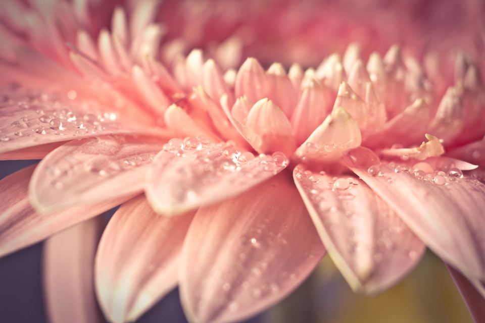 close-Up shot of a gerbera flower