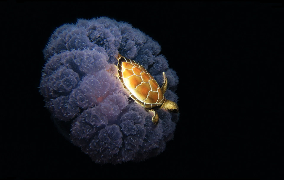 sea turtle riding a jellyfish
