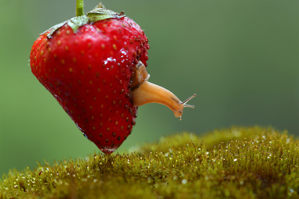 snail living inside strawberry