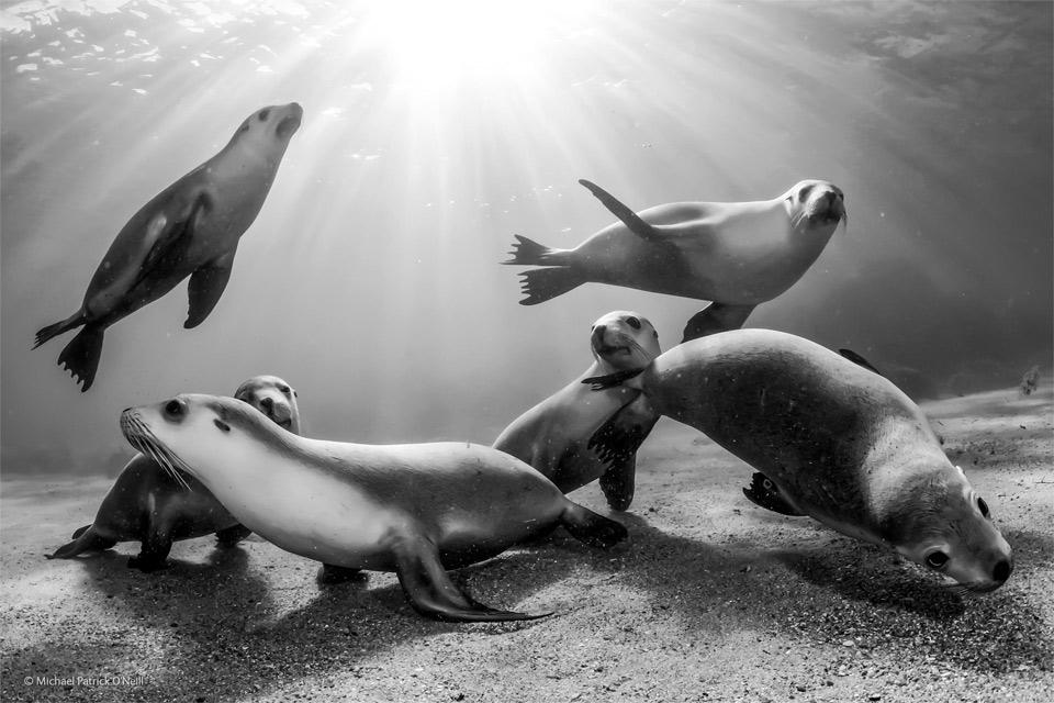 australian sea lion pups