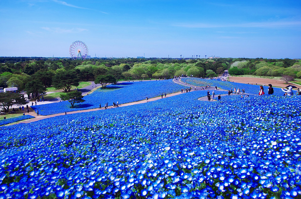 blue flower field of hitashi seaside park, japan