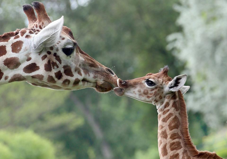nine-Day-Old giraffe with her mom