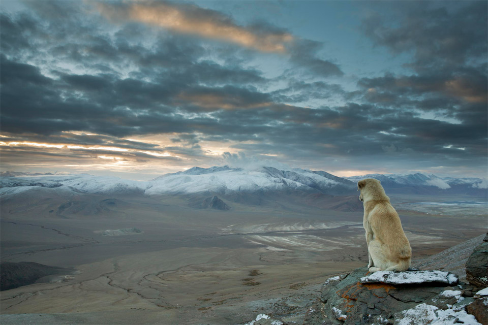 dog watches over himalaya