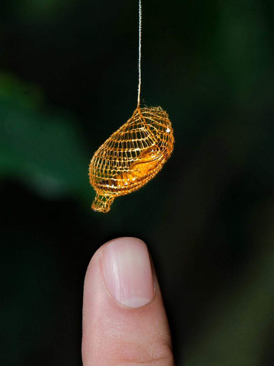 golden moth cocoon
