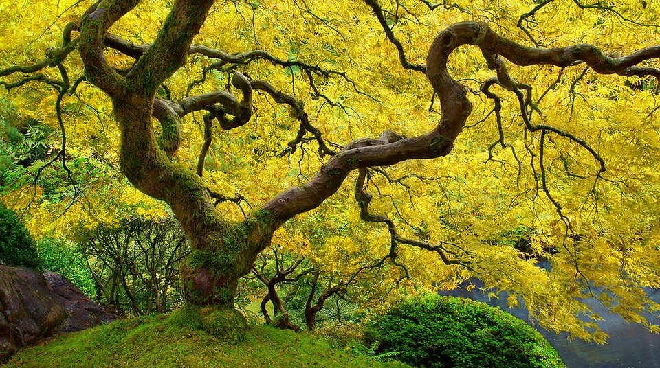 yellow leaves on chinese maple tree