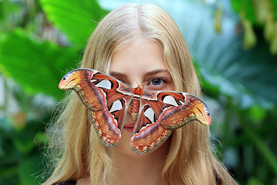 Attacus Atlas Butterfly Rests On A Girl S Face Photo One