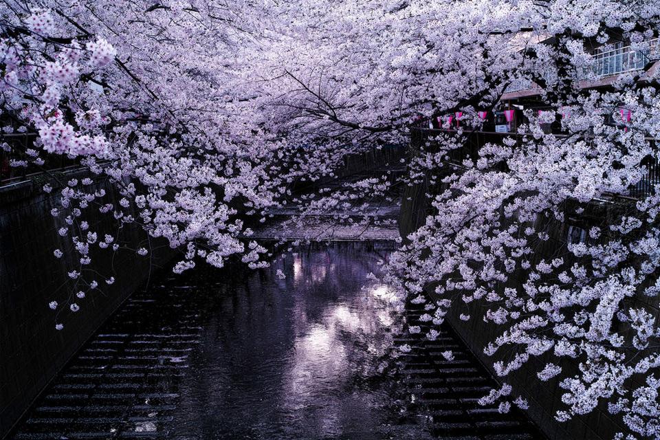 cherry blossoms over meguro river, tokyo