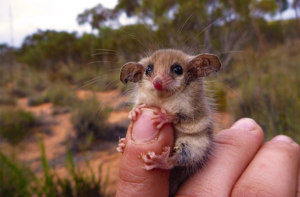 western pygmy possum, australia