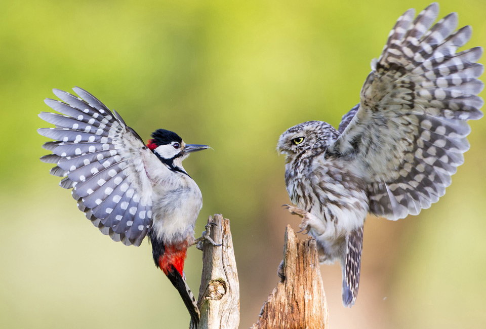 woodpecker and a owl, eye to eye