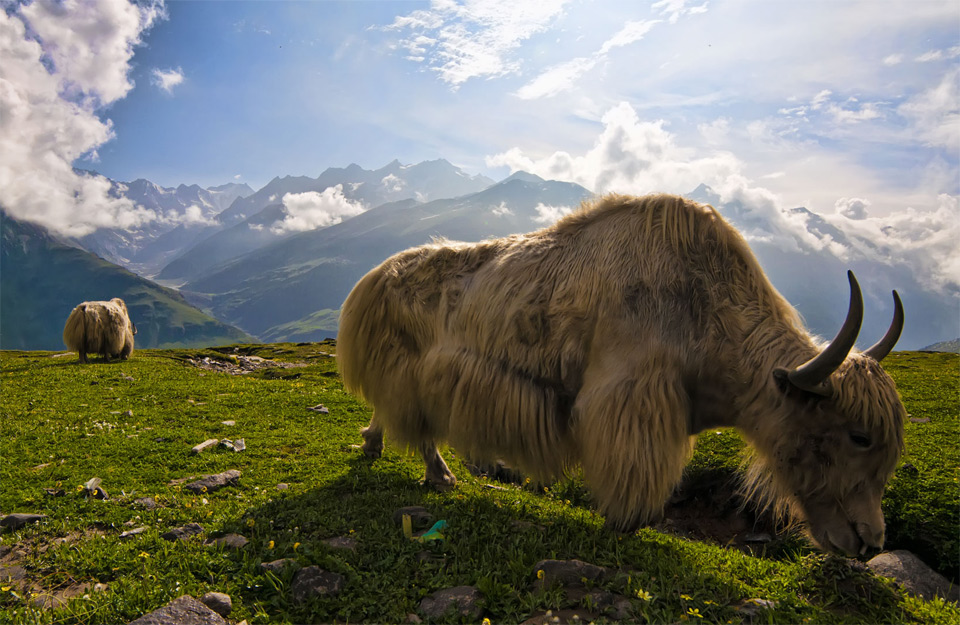 yaks in the himalayas