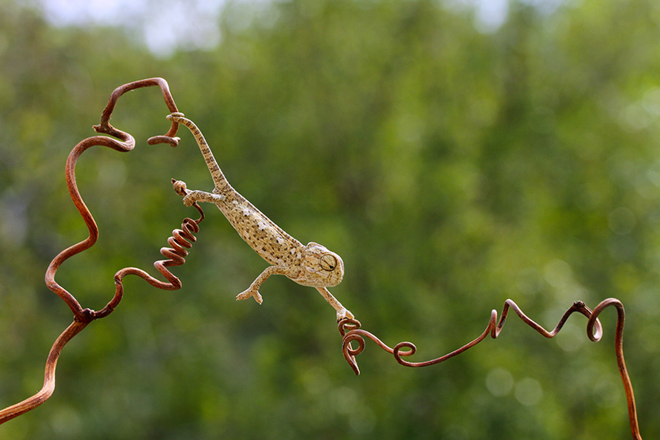 chameleon in his elegance
