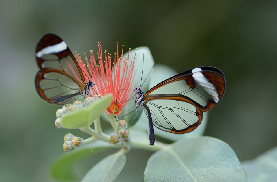 glass winged butterflies