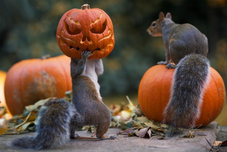 squirrel stealing a halloween pumpkin