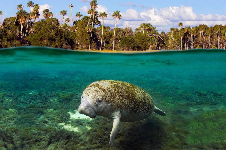 swimming-manatee,-kings-bay,-georgia