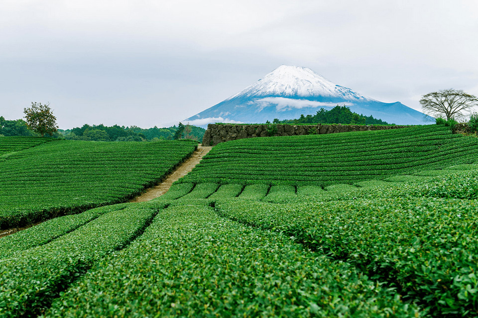 Yamanashi Japan  City new picture : tea fields of yamanashi, japan photo | One Big Photo