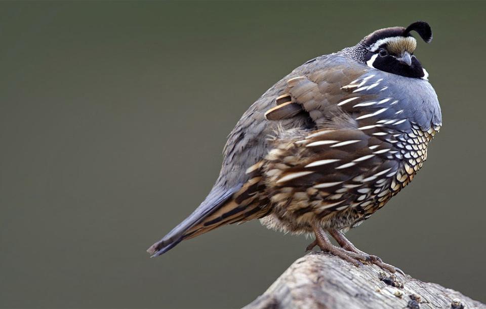 California Quail Bird