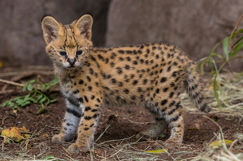 Five-Week-Old African Serval Kitten
