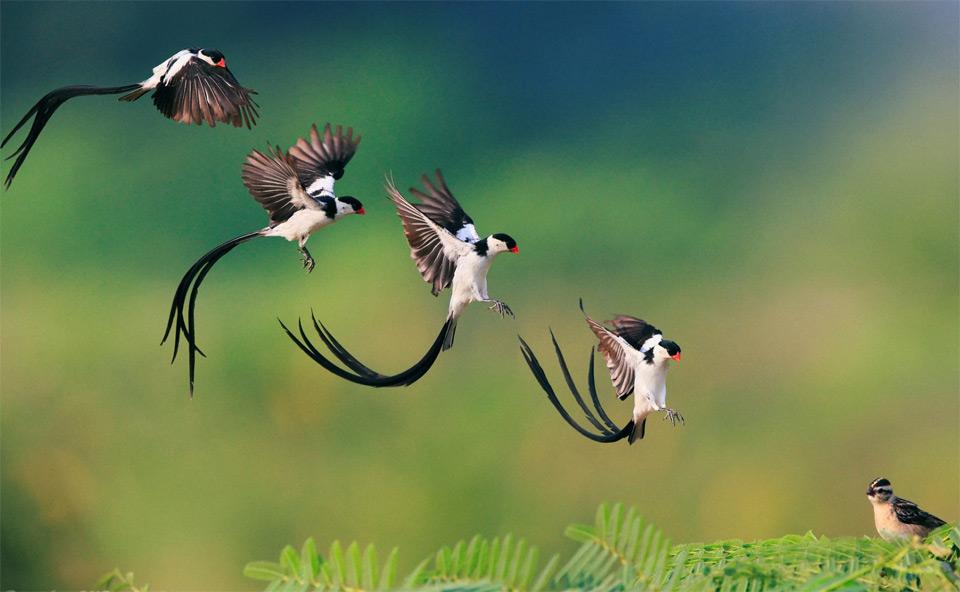 Landing of Pin Tailed Whydah Bird