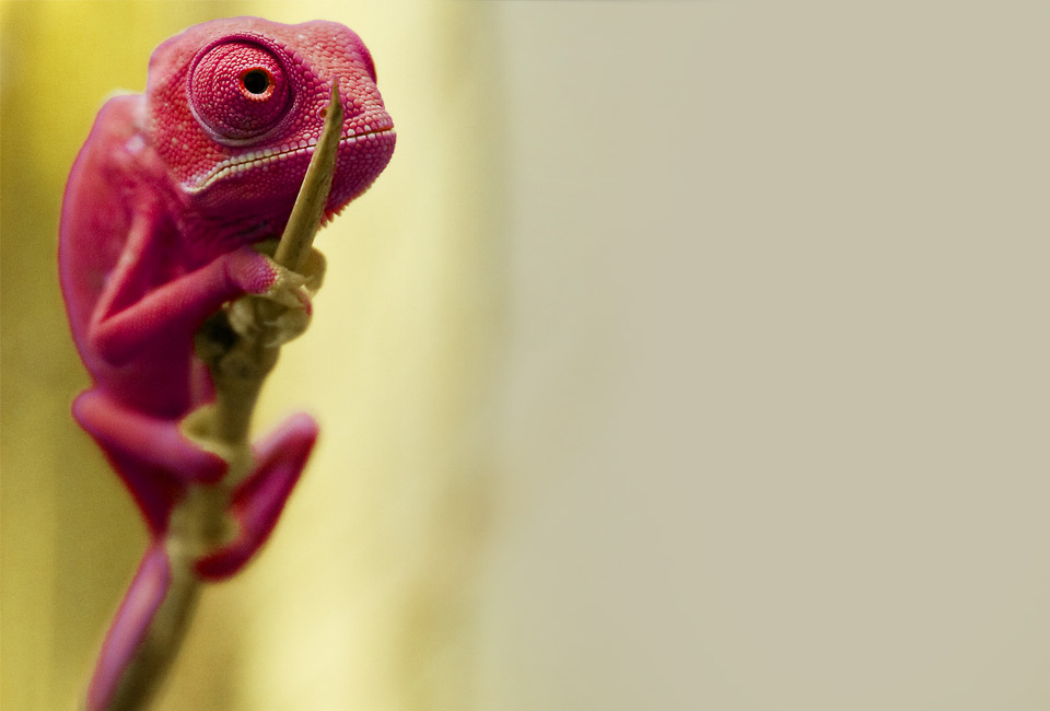 Red Baby Chemeleon