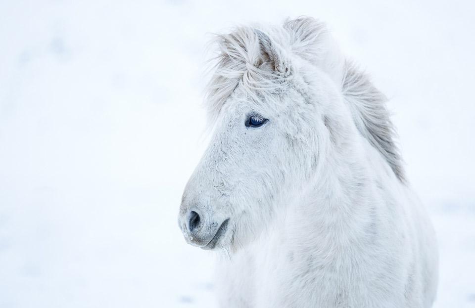 Icelandic White Horse