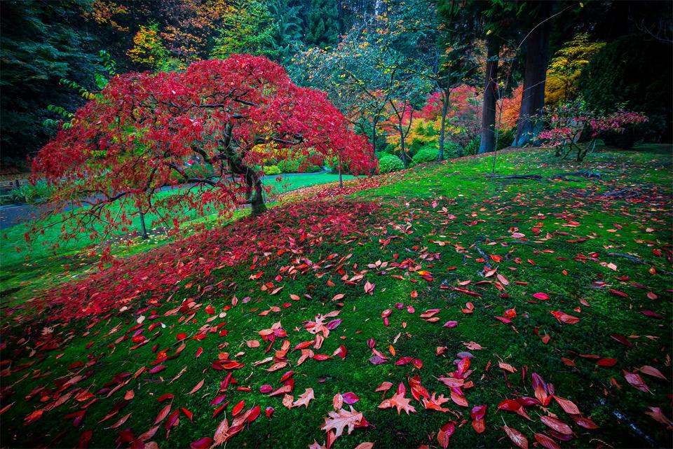 Red Leaves Tree, Japanese Garden, Portland