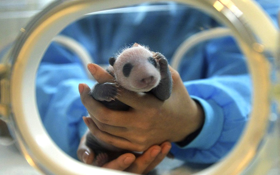 3-Days-Old Panda Cub