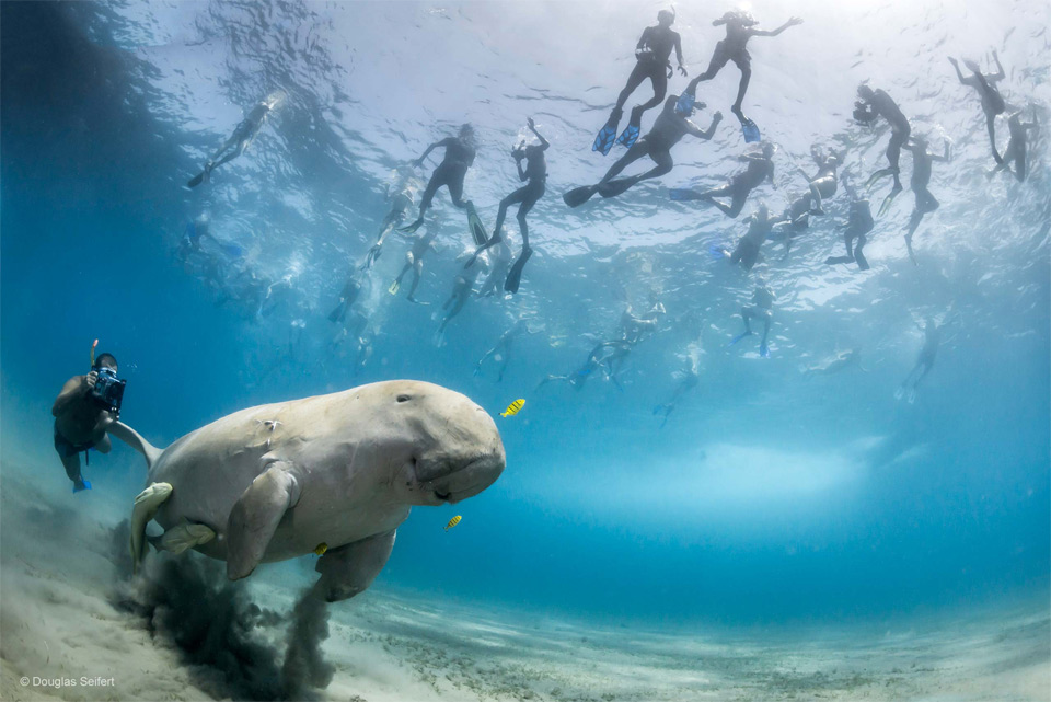 Divers And A Dugong In The Bay Of Marsa Alam, Egypt