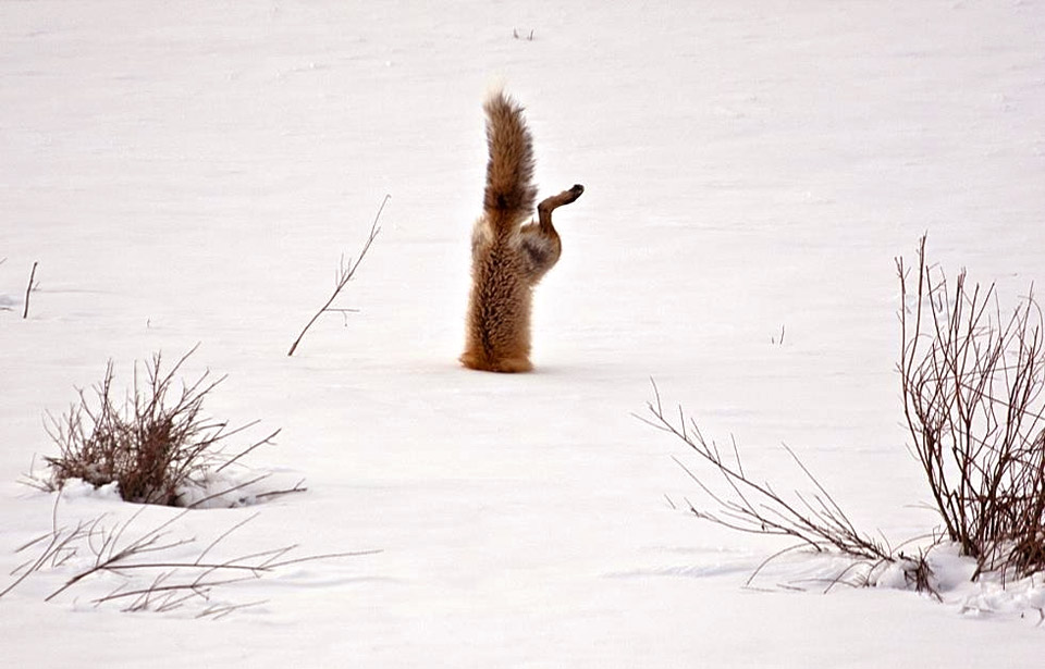 Fox Dives Head First Into Snow