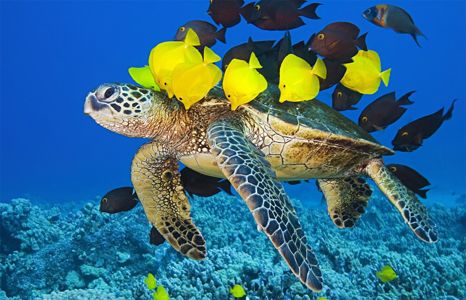 Green Sea Turtle Getting Cleaned By Yellow Tang And Gold-Ring Surgeonfish