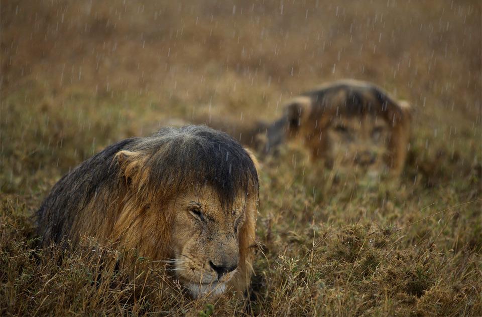 Lions Hunkered Down In Rain