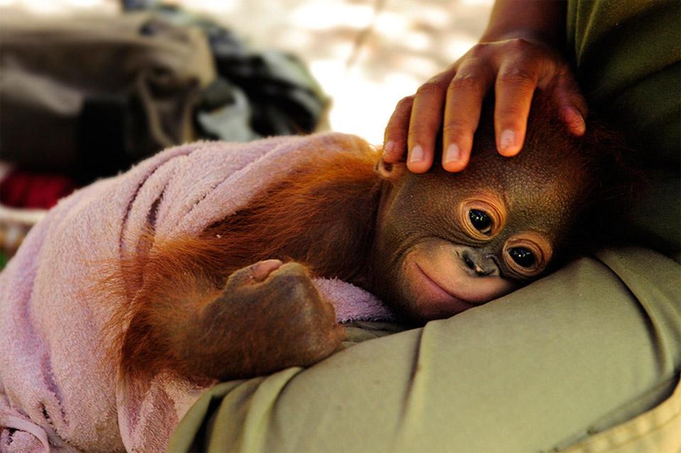 Orangutan Orphan Named Simona