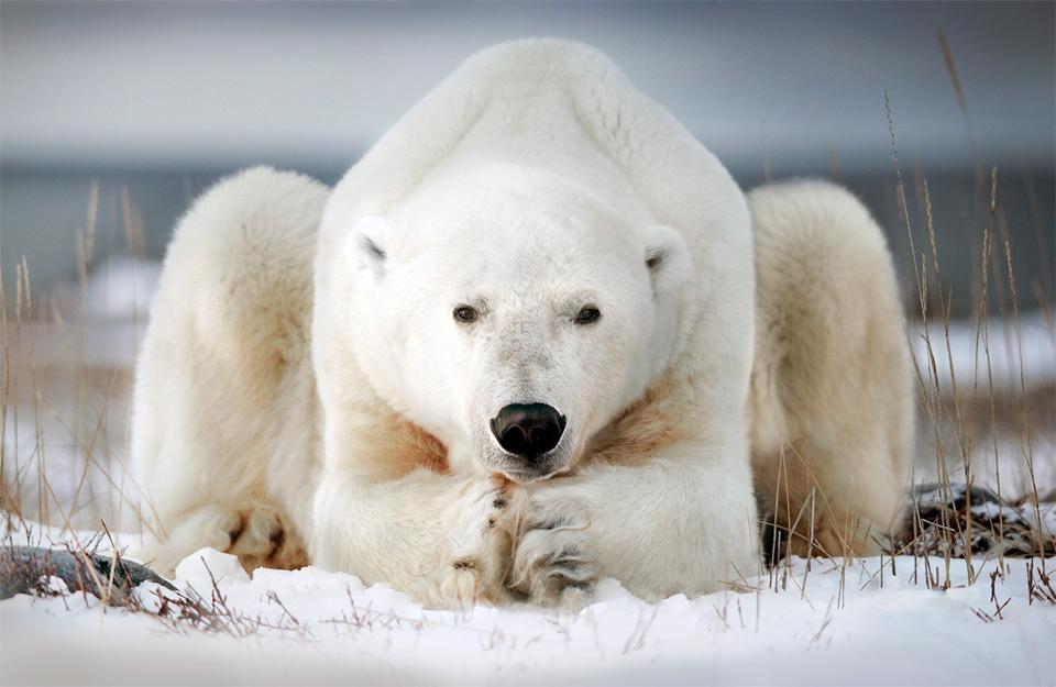 Polar Bear in Canada