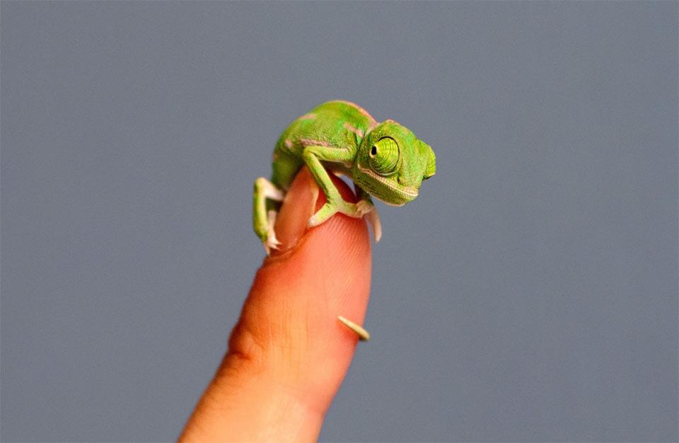 Adorable Tiny Chameleon