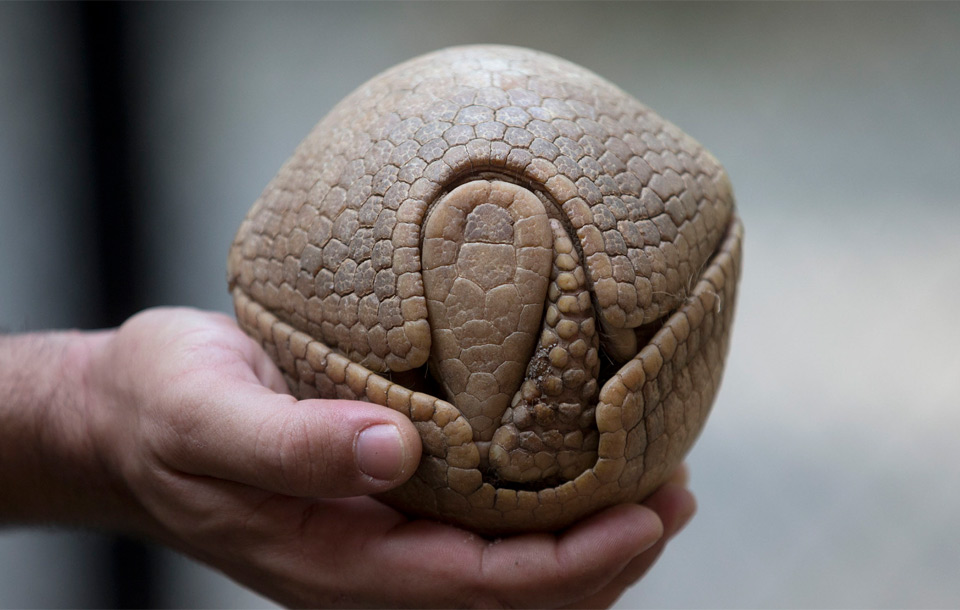 Armadillo's Defense Mechanism In Its Shell