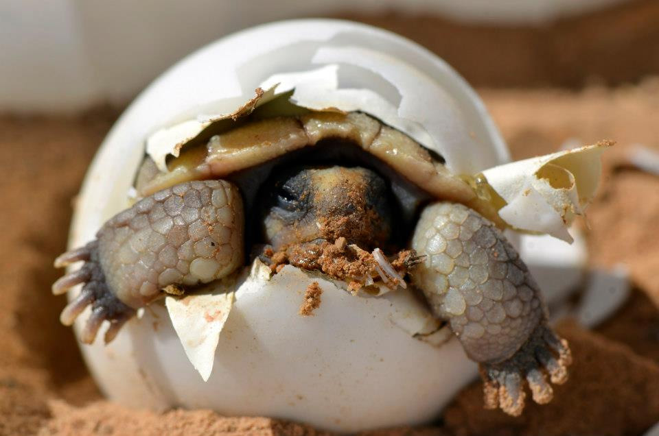 Baby Desert Tortoise Hatching From Its Egg