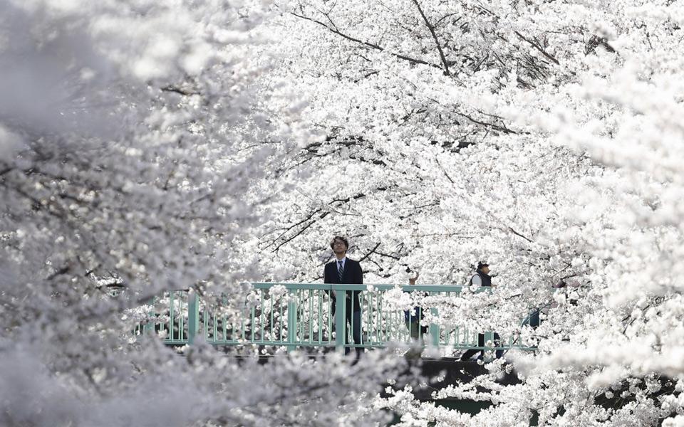 Cherry Blossom In Full Bloom, Tokyo, Japan