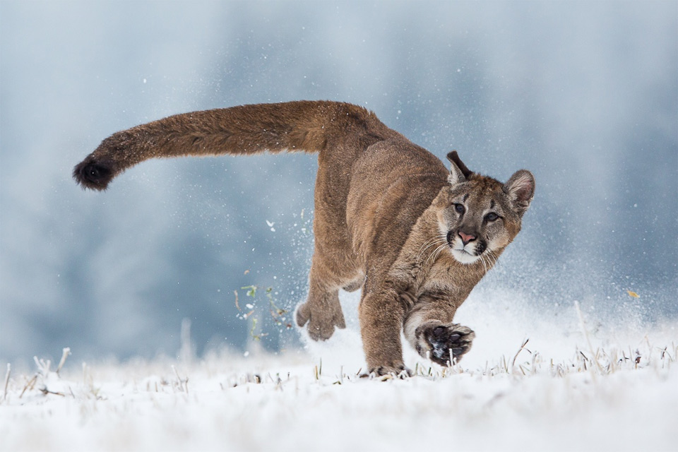 Cougar Running In Snow