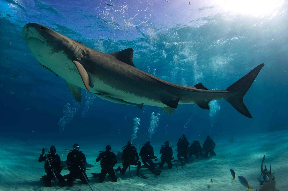 Divers Chilling Below Huge Tiger Shark