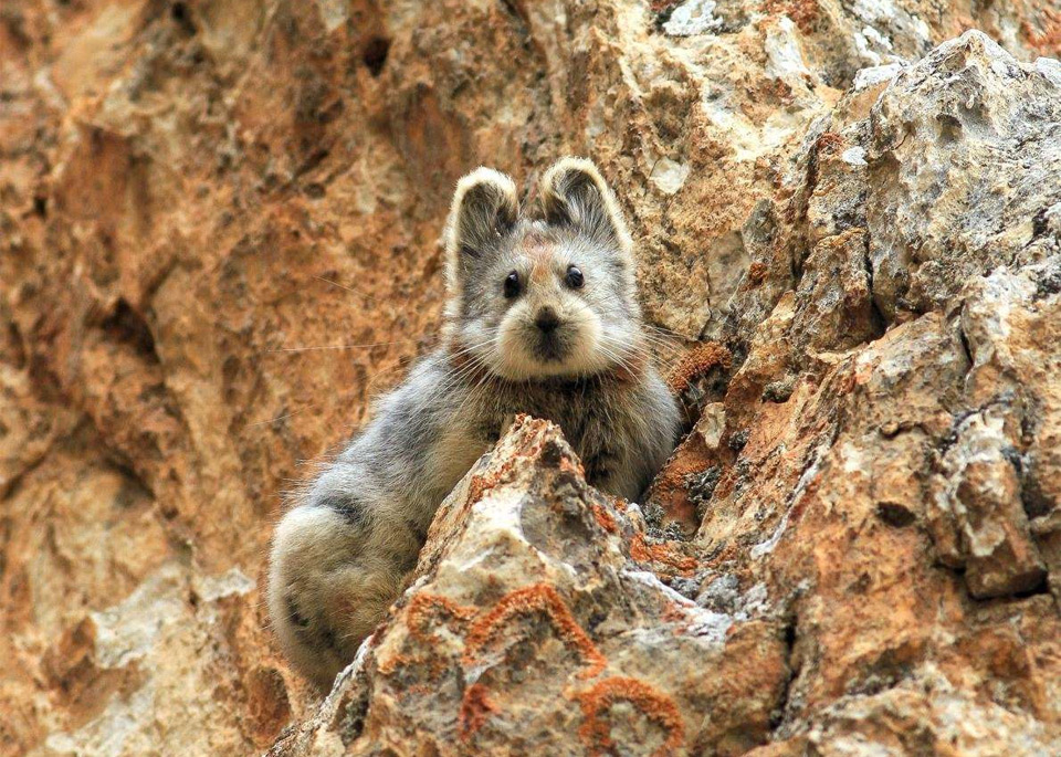 Ili Pika, a Rare Animal, China