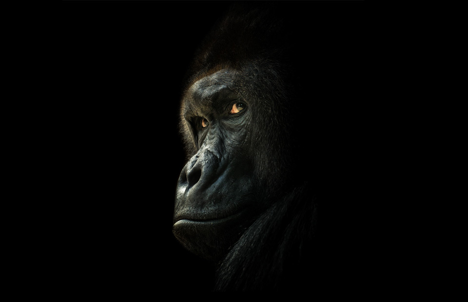 Look A Gorilla In The Eye