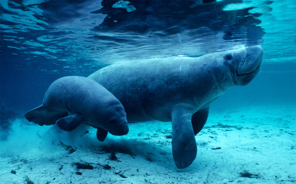 Manatee Mother With Baby, Florida