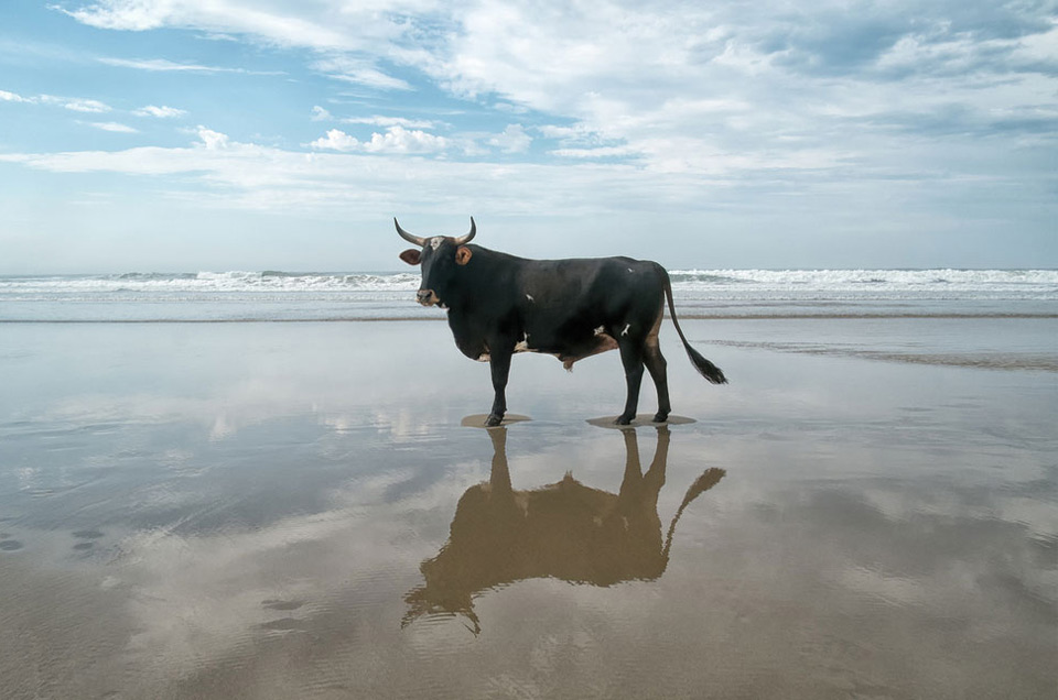 Bull On A Beach, South Africa