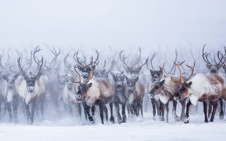 Mass Migration of Reindeer Herd, Canada
