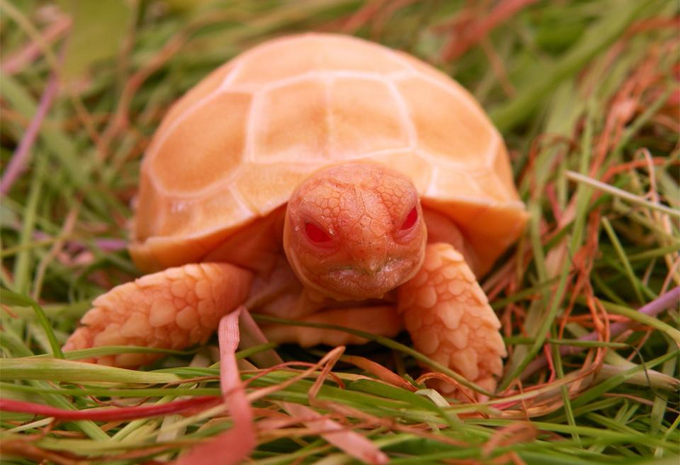 Rare Albino Sulcata Turtle