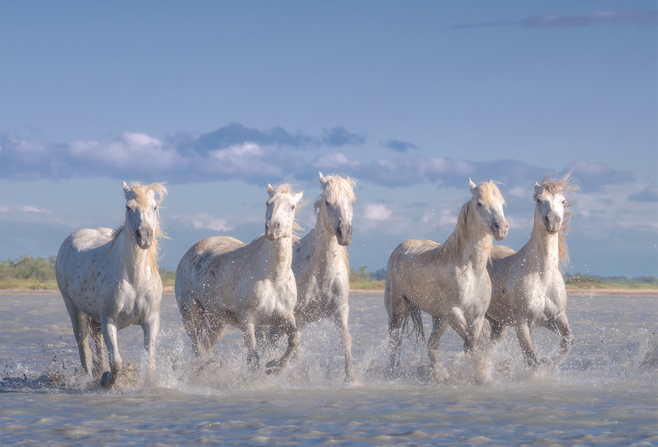 Herd Of Wild White Horses, France