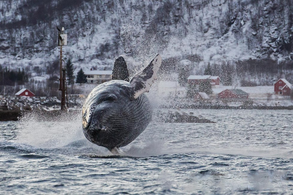 Humpback Whale Jumping Out Of The Water, Norway