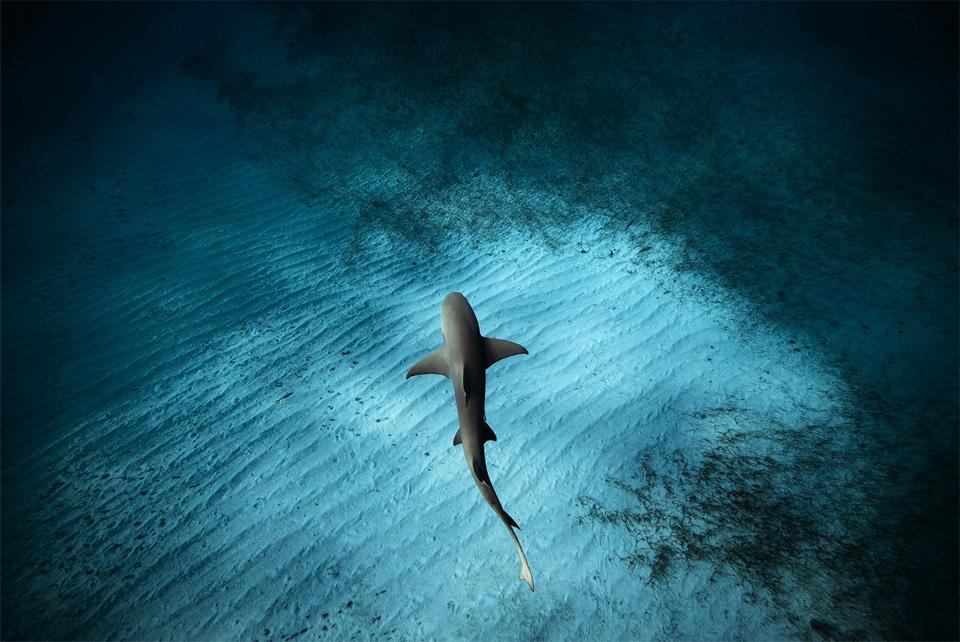Lemon Shark Swims Below Photographer, Bahamas