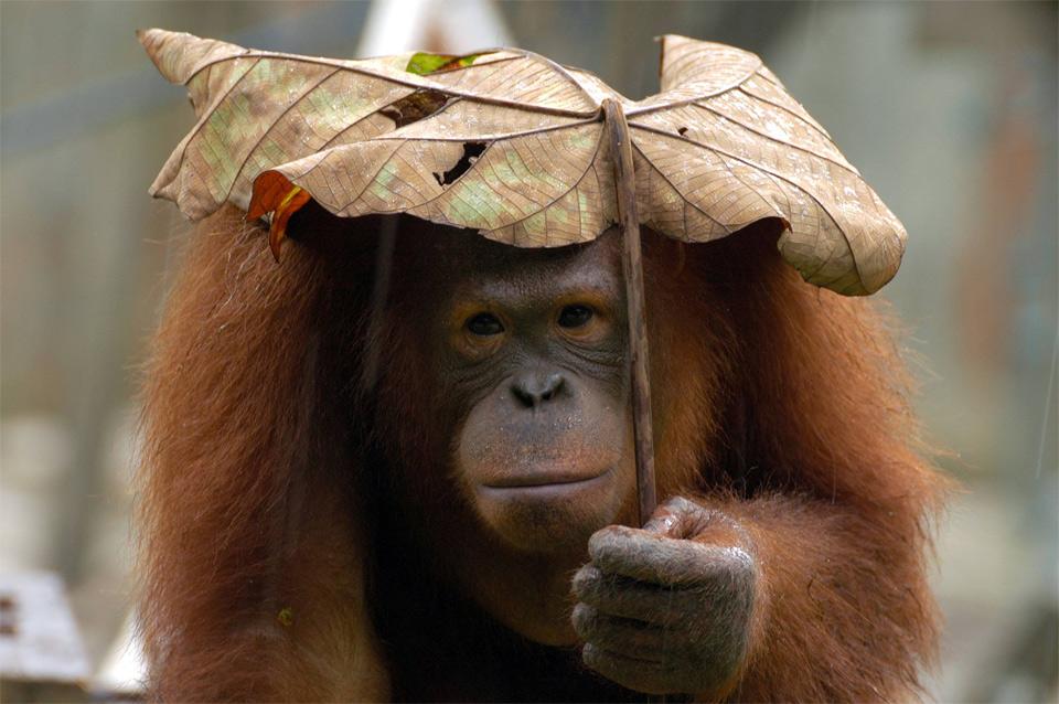 Orangutan Using Leaf As Umbrella
