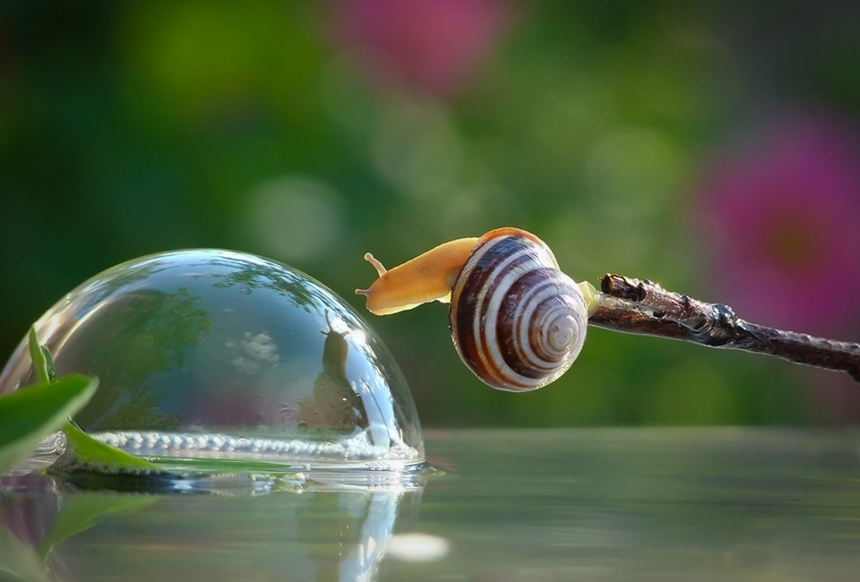 Snail Drinks Water From A Bubble