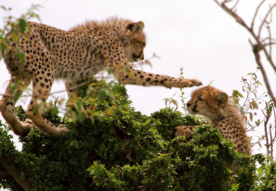 Cheetahs Play On The Tree, East Africa